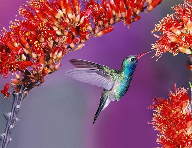 A picture of a hummingbird on a lilac background with red flowers