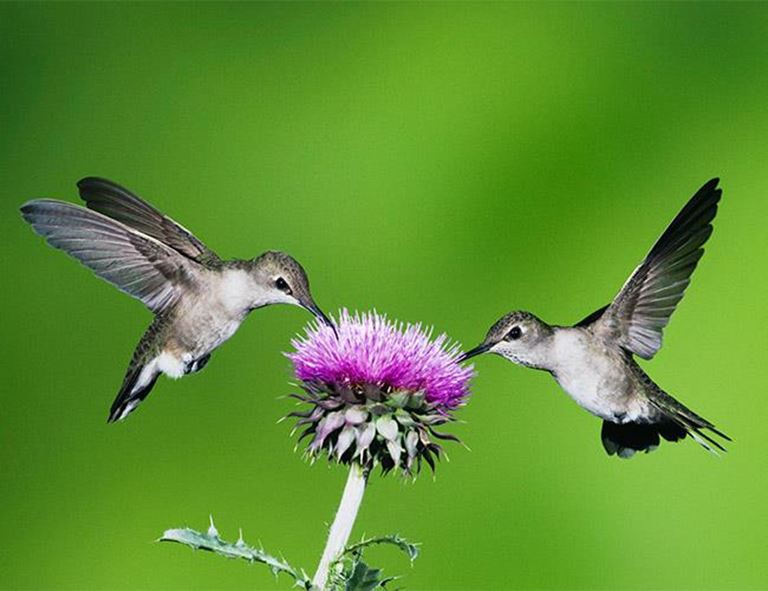 Two hummingbirds collecting nectar